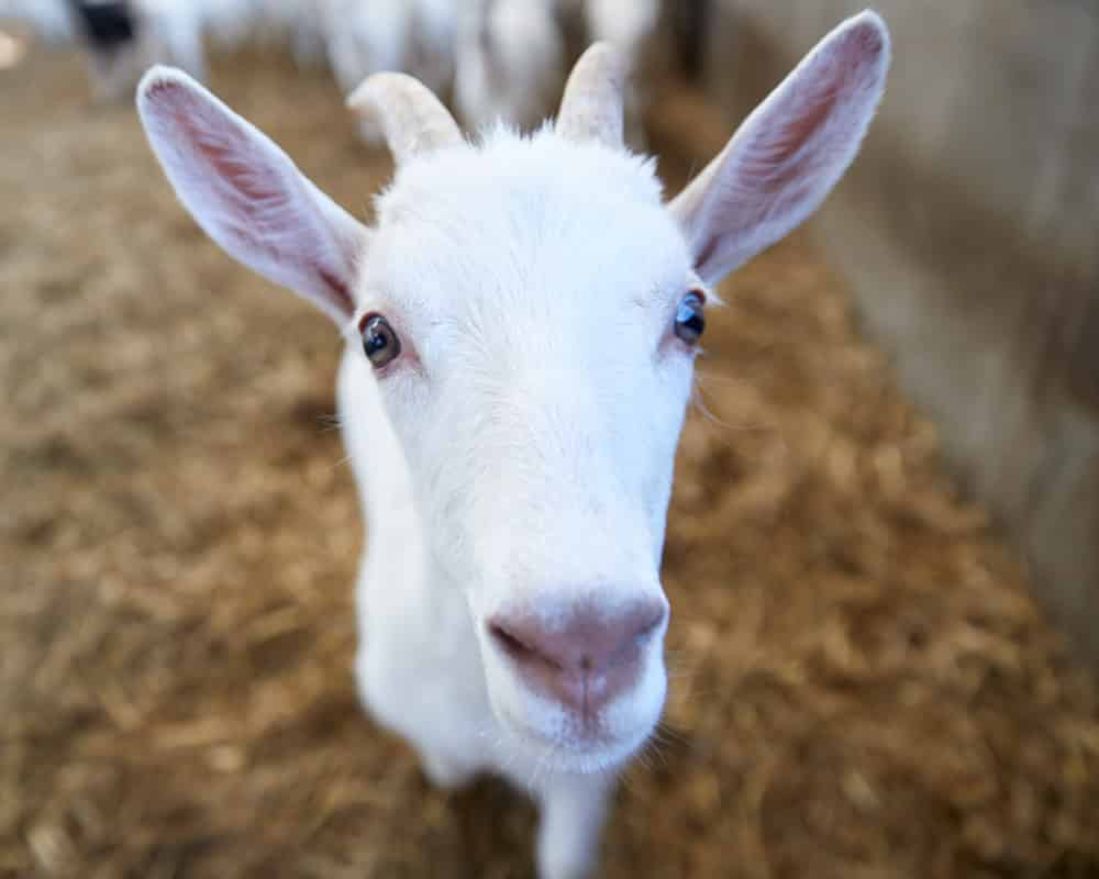 Goat Milk Friends of Goatober Category - Milk
